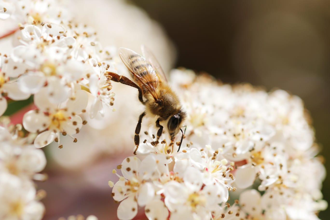 abeilles4